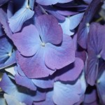 In the Sink for a Drink – Savoring the Last of the Easter Hot-House Hydrangeas