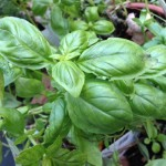 Flavor Affinities – Maple Syrup and Basil;  Caution:  Recipes Under Construction