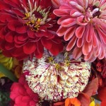 Crescendo of the Growing Season – A Study of Zinnias as I Pass the  500 Blog Post Mark