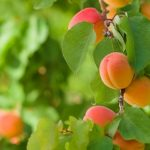 Quest for the Perfect Apricot – Worth Its Weight in Gold
